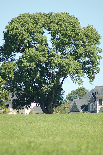 """Sandy Spring Ash Tree in Maryland USA"""