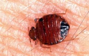 Bed Bug on Skin by JLplusAL