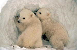 """Baby Polar Bear Cubs in Den"" by beingmyself"