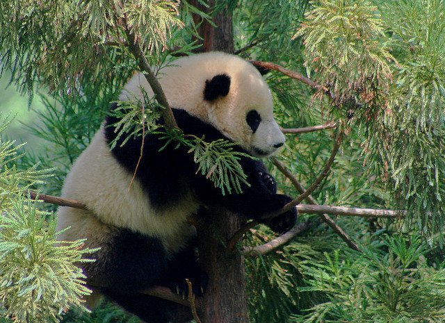 """""""Panda Conceived after Fertility Monitoring"""" : image by dbking (David)"""