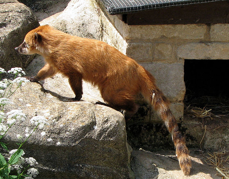 """""""Ring-Tailed Coati"""" image by Arpingstone"""