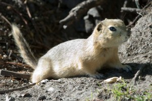 """Richardson's Ground Squirrel in Alberta"" image by Chuck Cszmurlo under Creative Commons share-alike license"