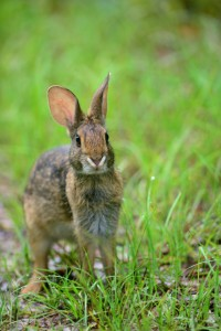 """Rabbit foraging in Alabama"" image by Stephen Kirkpatrick, USDA Natural Resources Conservation Service"