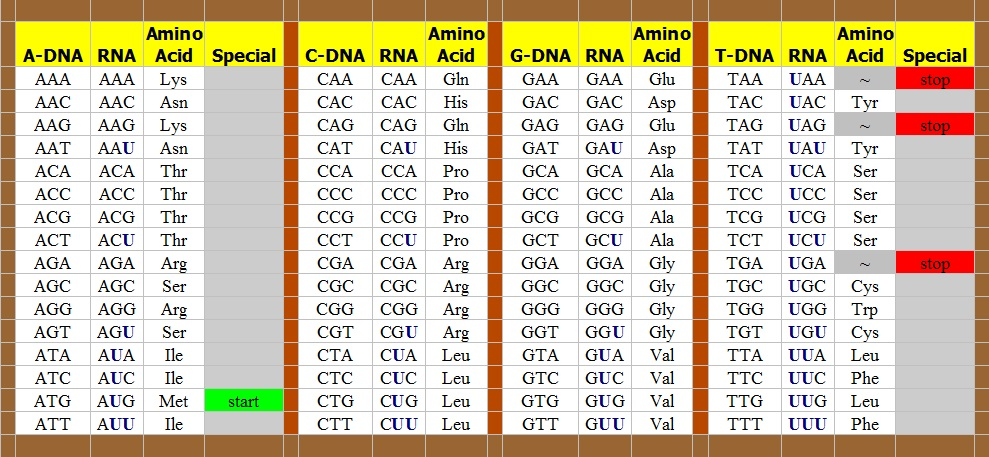 The Genetic Code from DNA to RNA to Amino Acids, copyright Mike DeHaan