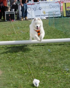 """A dog on the Lure Obstacle Course at Woofstock 2015"" image (c) by Linda DeHaan"